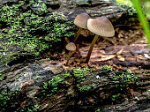 small inedible mushrooms like umbrellas in the forest in an old stump, macro, narrow focus area