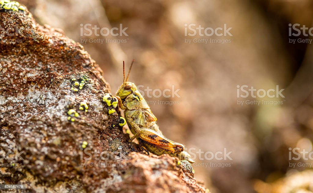 small insect grasshopper on the volcanic stones. stock photo