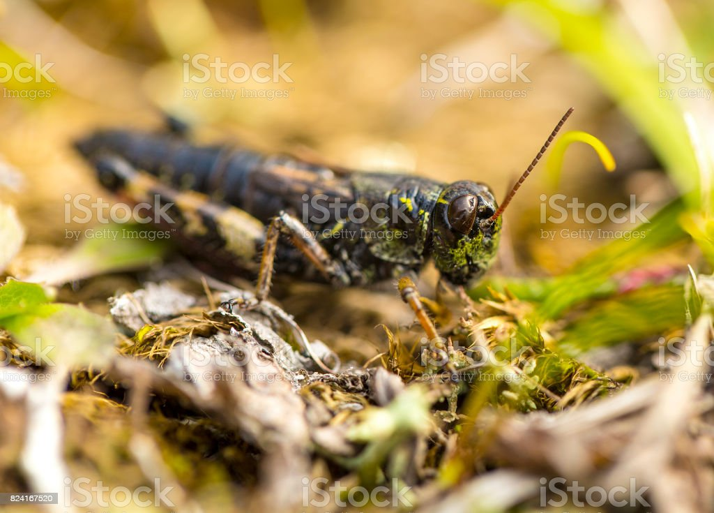 small insect grasshopper on the yellow and green grass. stock photo