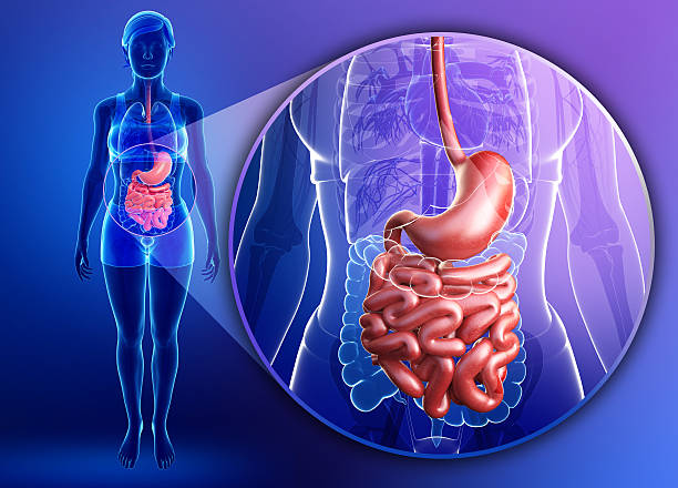 small intestine anatomy of female - human intestine stock photos and pictures
