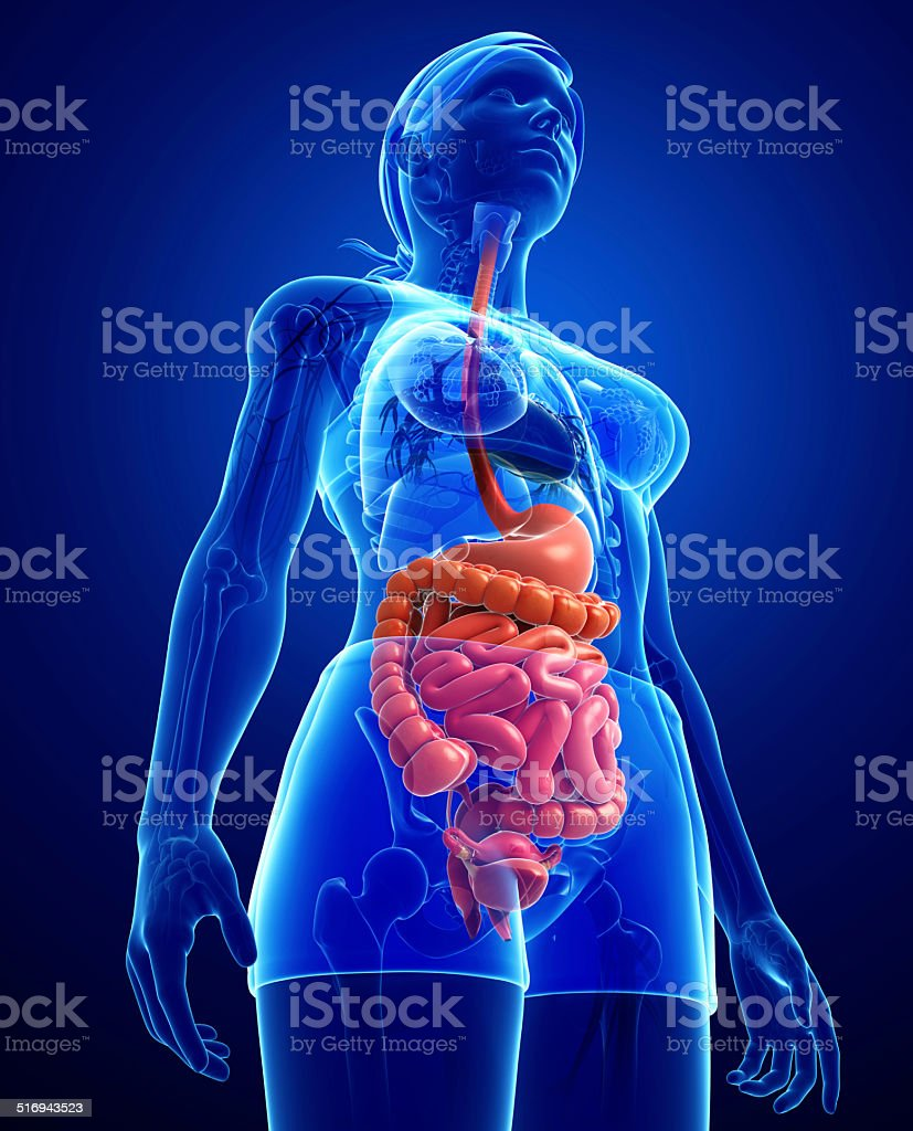 Small Intestine Anatomy Of Female Stock Photo - Download ...