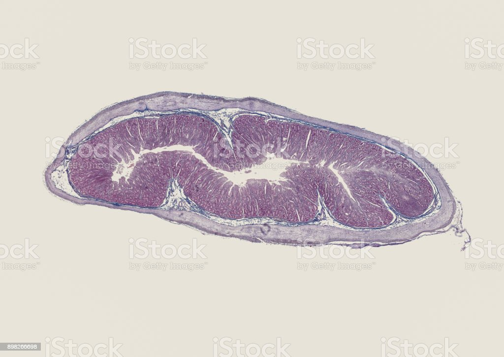 Small Intestine Cross Section Cut Under Microscope Stock Photo ...