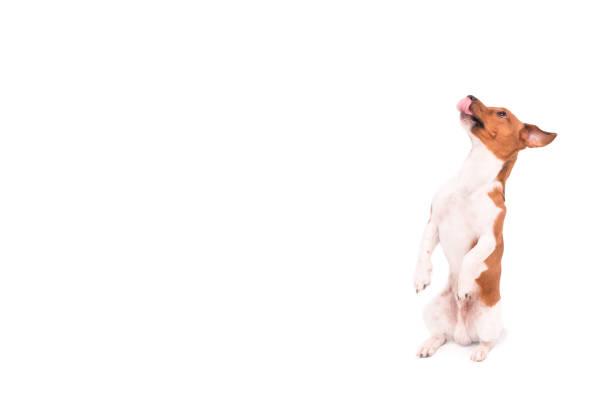 Kleiner Jack Russell Terrier Hund sitzt auf seinen Beinen und Nachschlagen - Hund isoliert vor weißem Hintergrund – Foto