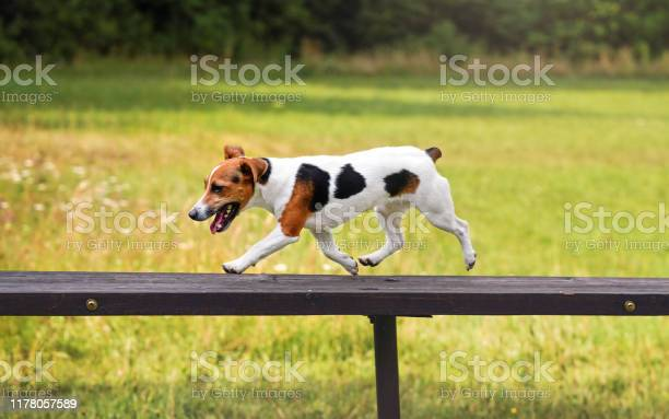 Small jack russell terrier dog running over tall wooden bridge ramp picture id1178057589?b=1&k=6&m=1178057589&s=612x612&h=pw9wk7oemjieqsotytjgbogkcboghh17zcy03ihmjck=