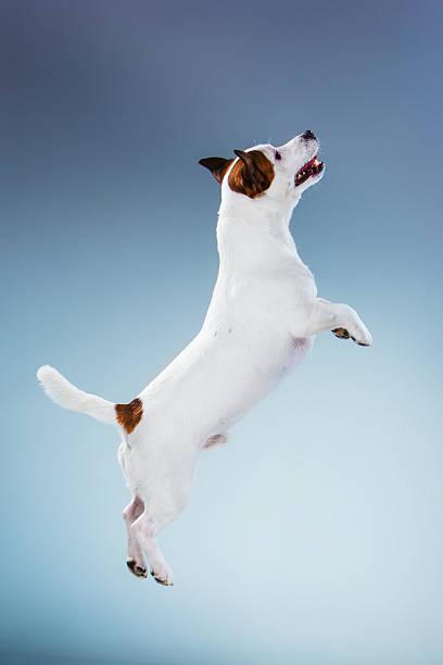 Small jack russell terrier jumping high picture id534003040?b=1&k=6&m=534003040&s=612x612&w=0&h=lluejhhsibgczfefownpvreo3ojcfdpkv5eudeojlsm=