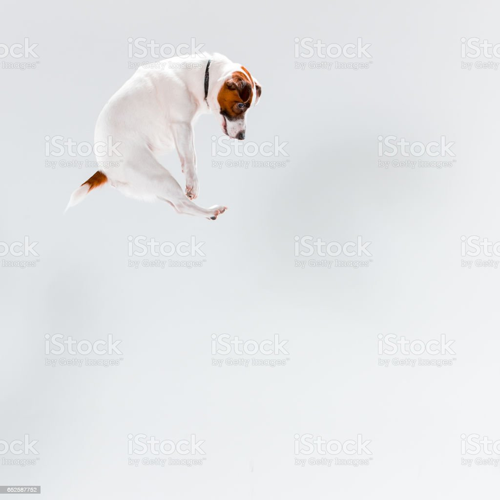 Small Jack Russell Terrier on white stock photo