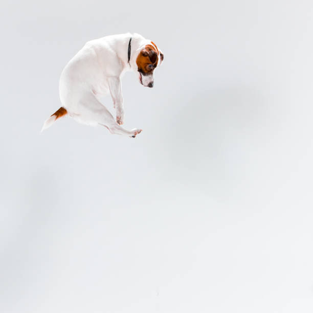 small jack russell terrier on white - dog jumping stock photos and pictures