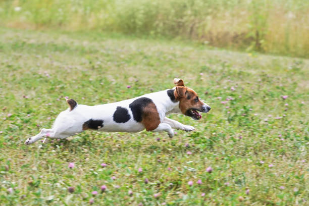 Small jack russell terrier running fast on grass meadow with small picture id1178057620?b=1&k=6&m=1178057620&s=612x612&w=0&h=rf714zccencmpia9gej 12ey6ybd4iq4bpcb fc0m1k=