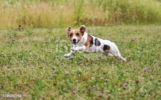 1053642922 istock photo Small Jack Russell terrier running over green meadow after thrown ball, jumping, her legs in air, looking into camera 1195242753
