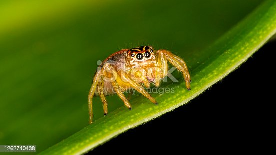 Small jumping spider on green leaf.