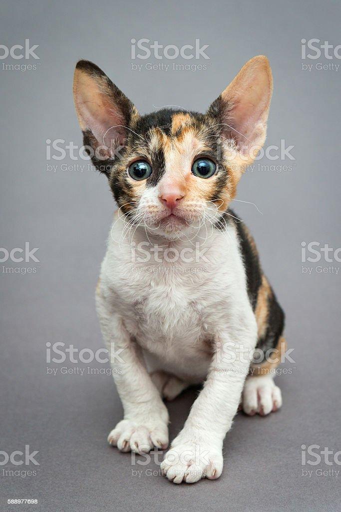 Small  kitten Cornish Rex stock photo