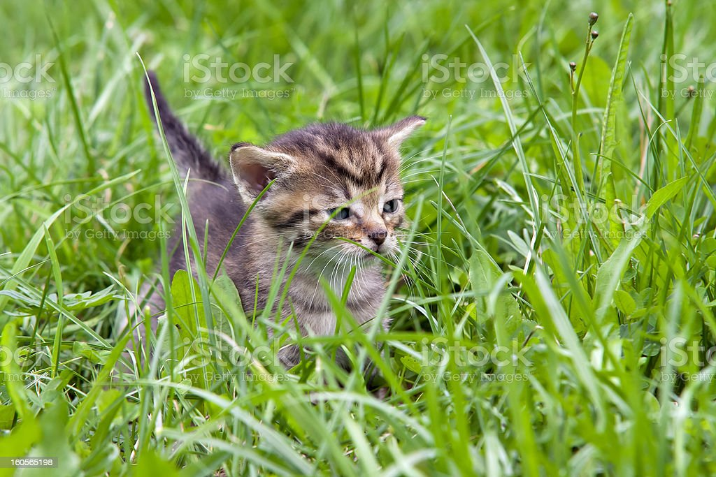 small kitten in the grass royalty-free stock photo