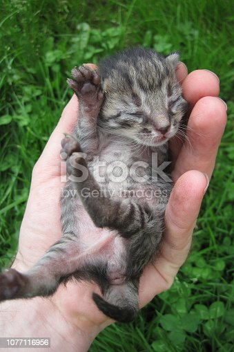 sweet small kitten in the human hand