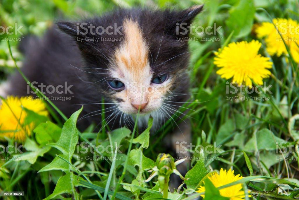 Small kitten in yellow dandelion flowers royalty-free stock photo