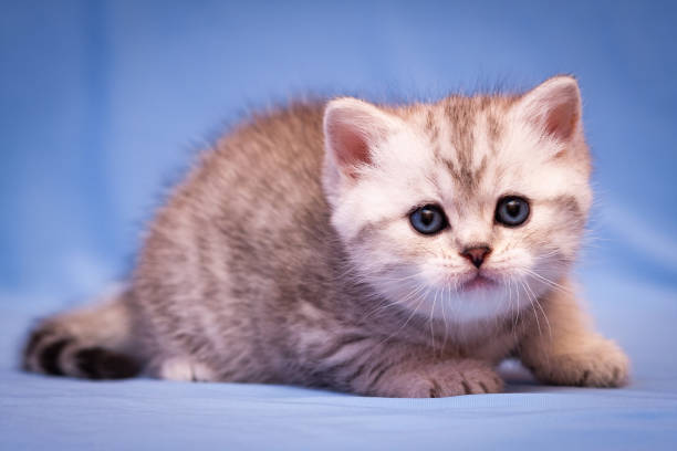 A small kitten of the British breed of gray-white color stock photo