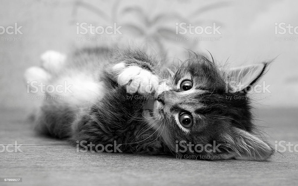 Small kitten playing at the table and looking to photographer royalty-free stock photo