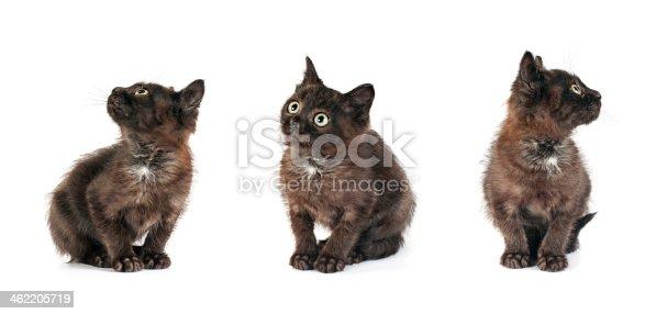 istock small kitten positions 462205719