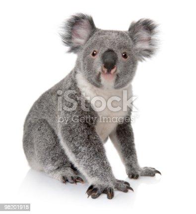 istock Small koala sitting on white background 98201918