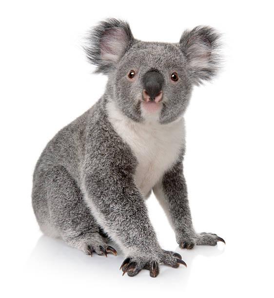 Small koala sitting on white background  koala stock pictures, royalty-free photos & images