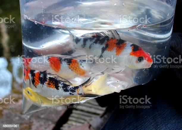 Kleine Koikarpfen Fisch In Plastiktute Von Pet Shop Stockfoto Und Mehr Bilder Von Aquarium Aquarium Oder Zoo Istock