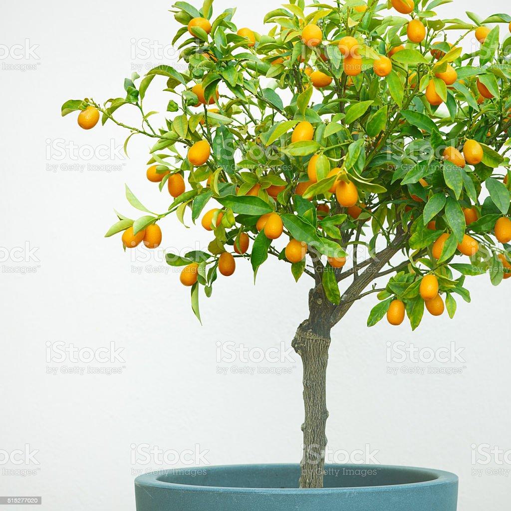 Small Kumquat Tree in Pot with Ripe Fruit stock photo