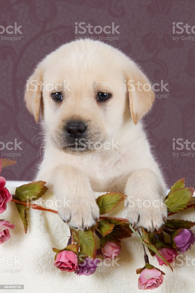 Small Labrador Puppy With Flowers In Blanket On Pink Pattern Background Studio Stock Photo - Download Image Now - iStock