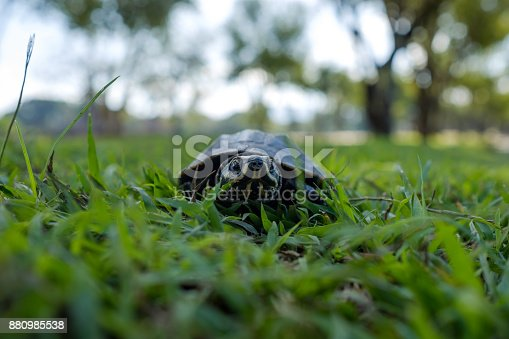 istock A small land turtle walks along the green grass in the park. 880985538