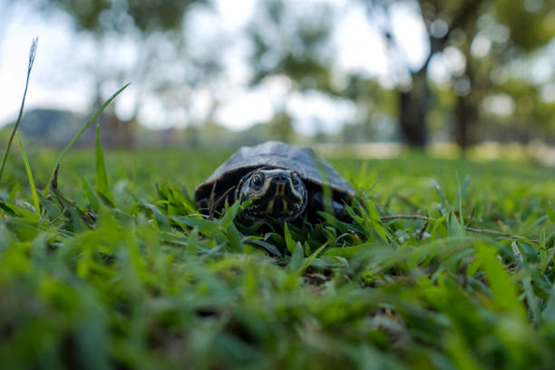A small land turtle walks along the green grass in the park. stock photo