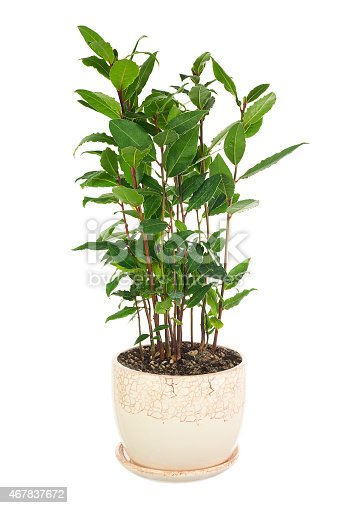 istock Small laurel tree in flower pot isolated on white background. 467837672