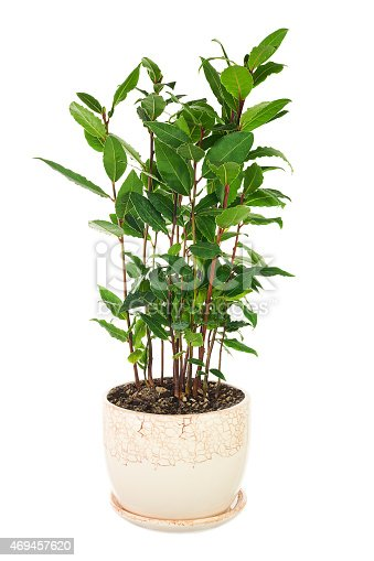 istock Small laurel tree in flower pot isolated on white background. 469457620