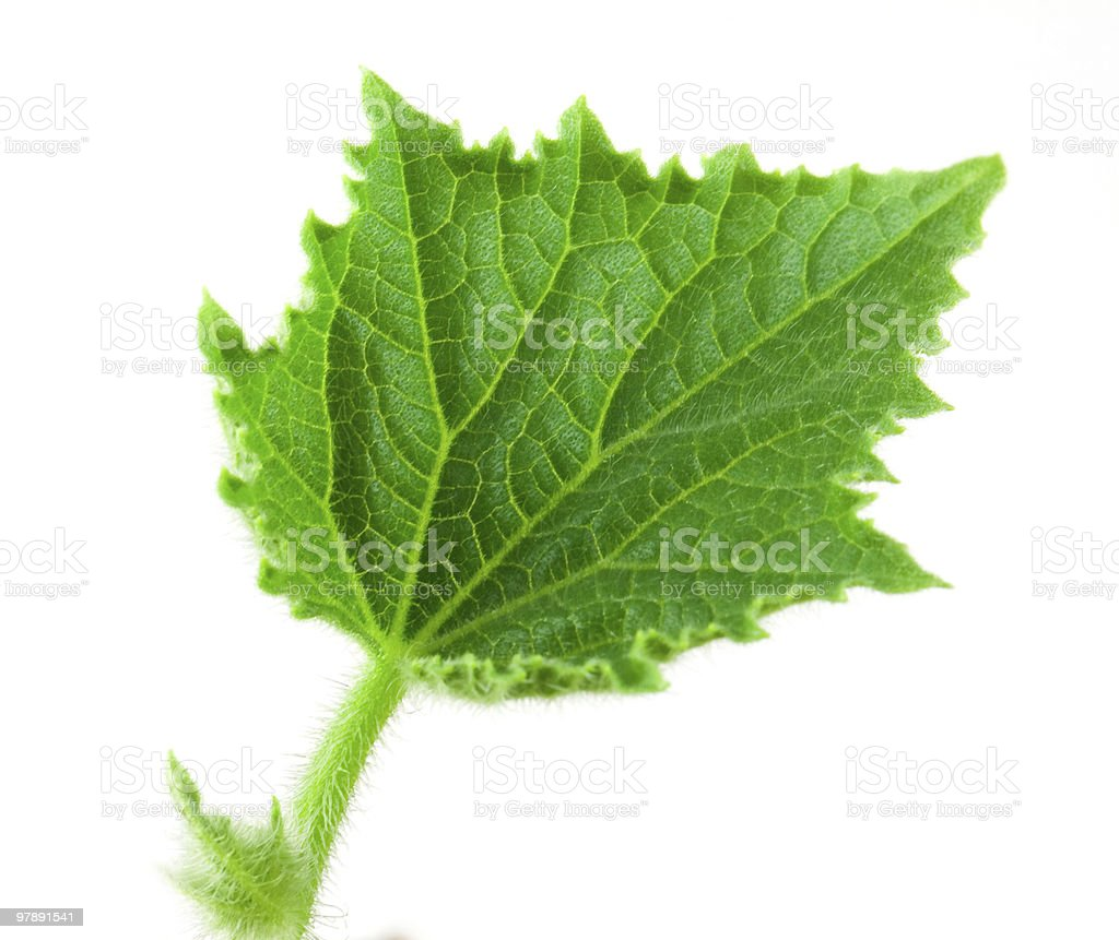 Small leafe of cucumber royalty-free stock photo