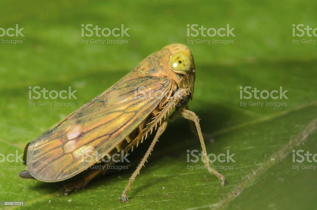 Small Leafhopper stock photo