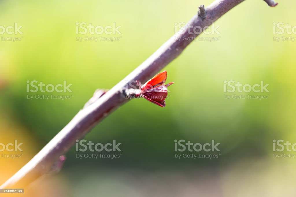 small leaves on a tree in spring. macro stock photo
