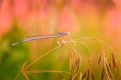 Close-up of beautiful small turquoise colored dragonfly resting on dry grass. Selective focus. Unfocused pink and green blooming meadow at background. Greeting card background with copy space.