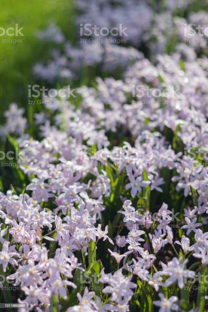 Small Little Purple Flowers Field In Koukenhof Netherlands Stock