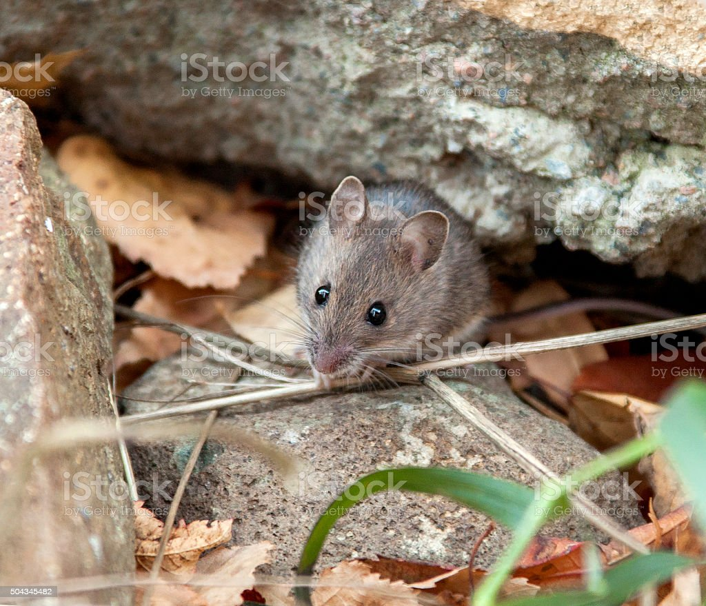 Small live mouse stock photo
