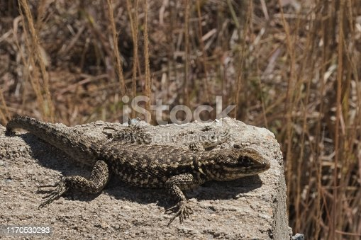 Poços de caldas,  minas gerais, brazil - Small lizard basking in the sun on a rock with blurred vegetation in the background.