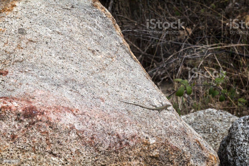Small lizard on a stone royalty-free stock photo