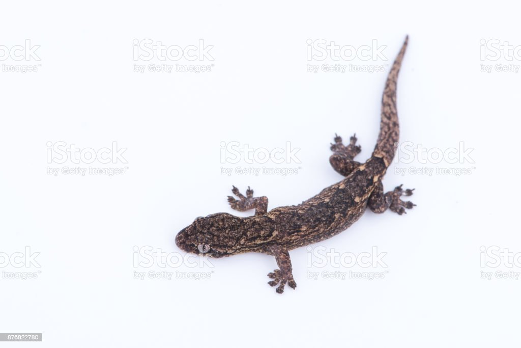 Small lizard on white background. Reptiles found in nature,Thailand stock photo