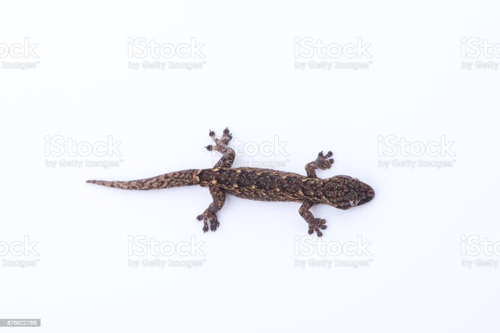 Fotografía de Lagartija Sobre Fondo Blanco Reptiles Encontradas La ...
