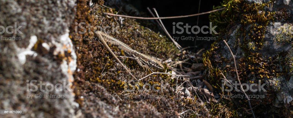 small lizard resting in the sun stock photo
