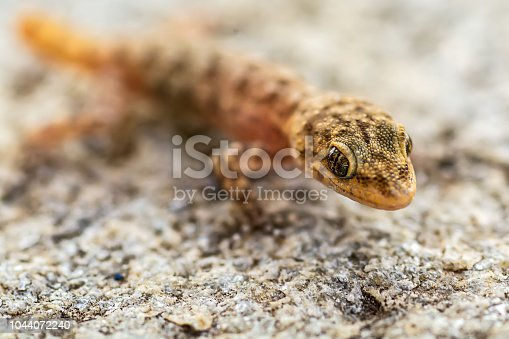Small lizard (Gicko) shot in macro mode