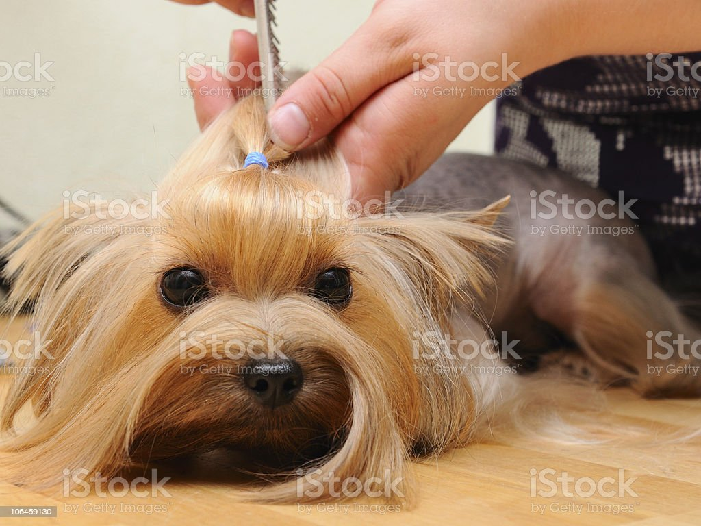 A small long haired dog being groomed and given a ponytail royalty-free stock photo