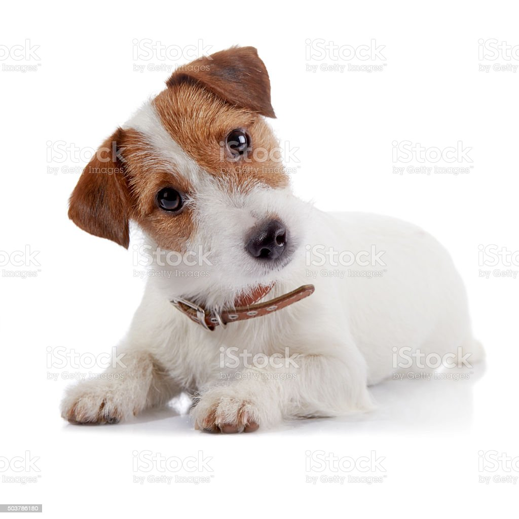 Small lovely doggie of breed a Jack Russell Terrier stock photo