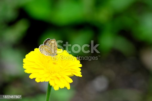 Small lycaenid butterfly perching on a flower