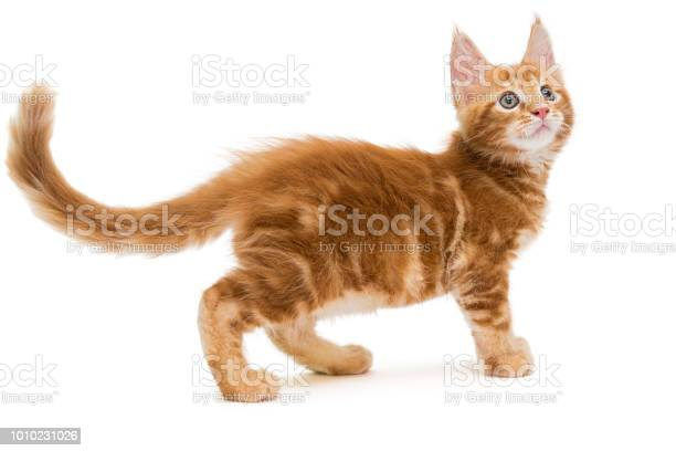 Small maine coon kitten picture id1010231026?b=1&k=6&m=1010231026&s=612x612&h=endd2paycj7t5bmd7fpa1   nwqzc2z i9mlu0nby5a=