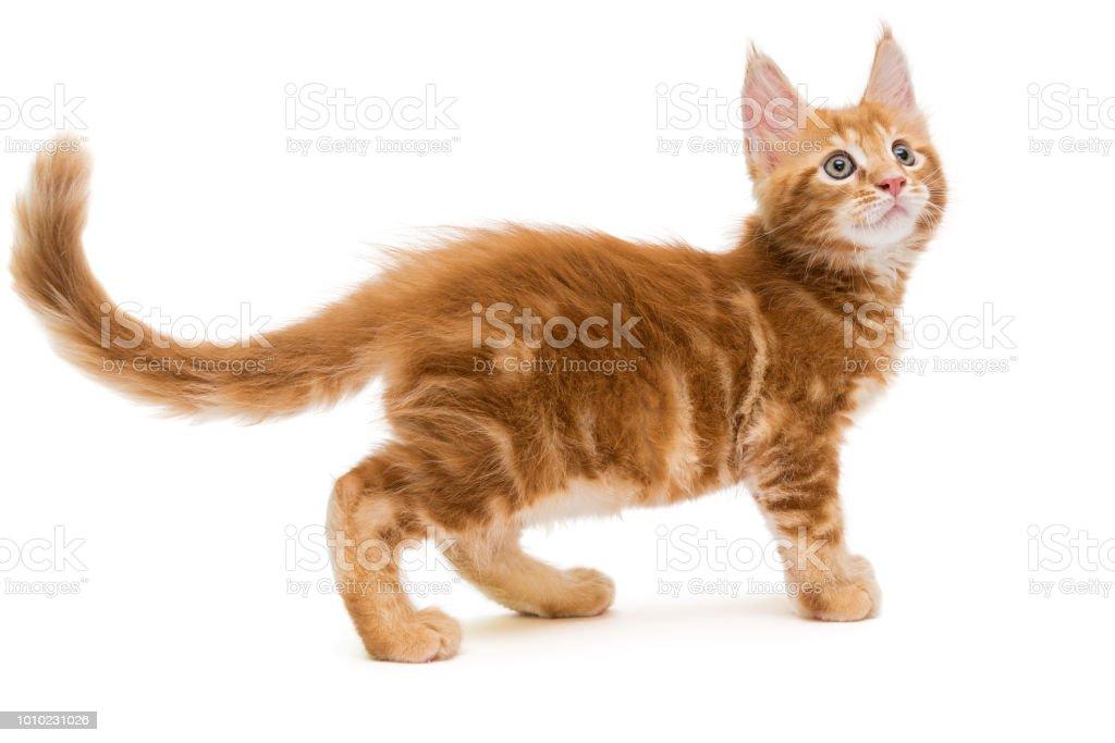 작은가 매인 쿤 고양이 새끼 스톡 사진