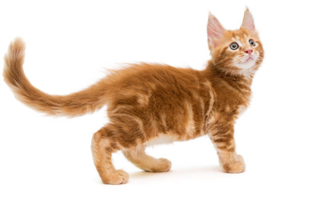 small maine coon kitten - tail stock photos and pictures