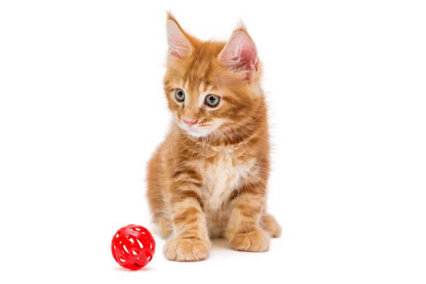 Small maine coon kitten picture id1010231046?b=1&k=6&m=1010231046&s=612x612&w=0&h=yfbjomrytt vksu oxnpfcadvbxpscdw657wtj2gm7i=