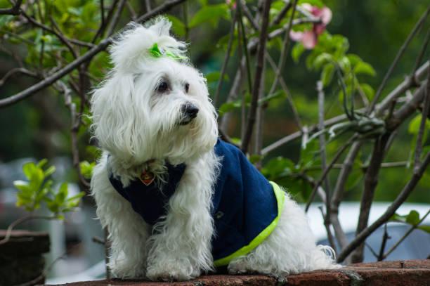 kleine malteser hund - sealyham terrier stock-fotos und bilder